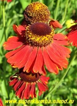 """ГЕЛЕНИУМ ОСЕННИЙ """"РАБИНЦВЕРГ"""" (Helenium """"Rubinzwerg"""") Цветы крупным планом. Диаметр цветка 4см. НОВИНКА! ЦЕНА 250 руб (шт)"""