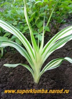 Лилейник ФУЛЬВА КВАНСО ф. ВАРИЕГАТНЫЙ.(Hemerocallis Fulva v. kwanso f. Variegate). Листва очень нарядная с широкими белыми полосами. ЦЕНА 600 руб (1 шт)