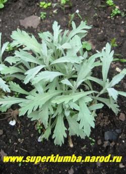 """ПОЛЫНЬ ЛЮДОВИКА """"Силвер Квин"""" (Artemisia ludoviciana """"Silver Queen""""), весенняя листва с резными краями, позже листья становятся простыми . Основное условие успеха для видов с серебристой листвой — бедные, хорошо дренированные, нейтральные почвы и солнечное местоположение. ЦЕНА 150-200 руб  (1 делёнка)"""