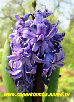 """Гиацинт махровый """"КРИСТАЛ ПЭЛАС"""" (Hyacinthus orientalis """"Chrystal palace"""") махровые цветы насыщенно фиолетово-синего цвета с более темной полосой по центру лепестков, высота 10-15 см. НОВИНКА! НЕТ В ПРОДАЖЕ"""