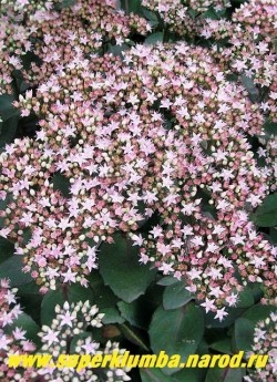 """ОЧИТОК ТЕЛЕФИУМ """"МАТРОНА"""" (Sedum telephium ''Matrona'') розовые цветки в крупных щитковидных соцветиях . Как и все остальные седумы предпочитает солнечное местоположение и нейтральные или слабокислые почвы. ЦЕНА 200 руб (1 деленка)"""