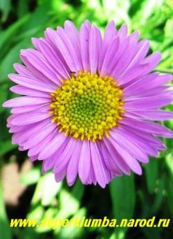 """АСТРА АЛЬПИЙСКАЯ """"РОЗЕА"""" (Aster alpinus """"Rosea"""") низкая, высотой всего15-20 см летнецветущая многолетняя астра, цветы полумахровые ярко-розовые диаметром 4 см, цветет июнь-июль. ЦЕНА 250 руб (1 делёнка)"""