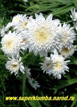 """ПИРЕТРУМ ГИБРИДНЫЙ """"Махровый белый"""" (Pyrethrum hybridum f. flore plena alba) очень красивые белые густомахровые соцветия 5-6 см в диаметре, цветет июнь-июль, высота 50 см,  ЦЕНА 450 руб (1 шт) НЕТ  НА ВЕСНУ"""