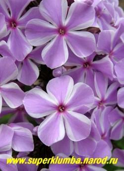 Флокс Арендса ОЛЛ ИН ВАН (Phlox arendsii  All in One) Цветы крупным планом. ЦЕНА 250 руб (1 шт)  или 500 (кустик: 3-4 шт)