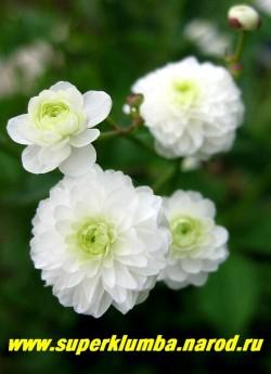 """ЛЮТИК БОРЕЦЕЛИСТНЫЙ """"Флоре Плено"""" (Ranunculus aconitifolius flore pleno)  высота до 40 см, цветет в мае - июне белоснежными густомахровыми цветами 2- 2,5 см в диаметре, зимостоек, ЦЕНА 300 руб (делёнка)"""