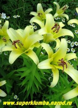 Лилия ЙЕЛЛОУВИН (Lilium Yelloween)  ОТ-гибрид.  Цветы крупные сочного желтого сливочного цвета с ароматом, в зависимости от условий могут менять цвет на светло-лимонный. Высота до 90 см, цветет июль, ЦЕНА 150 руб (1 шт )