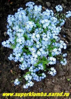 НЕЗАБУДКА АЛЬПИЙСКАЯ САДОВАЯ (Myosotis х hybrida) Очень низкая и компактная форма незабудки с нежно-голубыми цветами, цветет с середины мая очень долго 30-40 дней, двулетка ,но прекрасно возобновляется самосевом.высота 8-15 см,  ЦЕНА 150 руб