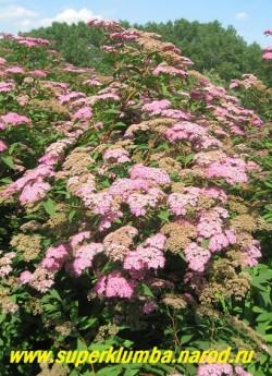 """СПИРЕЯ БУМАЛЬДА """"малиновая"""" ( Spiraea x bumalda)  кустарник, до 100 см высотой, с изящной, шаровидной кроной . Листья до 8 см длиной, яйцевидно-ланцетные, голые, Цветет с июня практически все лето, около 50 дней, ЦЕНА  250-300 руб (3-5 летки)"""