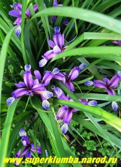 ИРИС ЗЛАКОВИДНЫЙ (Iris graminea)  узкие листья формируют очень декоративный куст до 30см высоты, похожий на куст злака, с очень яркими цветками фиолетово-пунцовой окраски, цв. июнь, ЦЕНА 200-250 руб (1 делёнка)