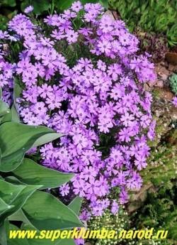 "кустик ФЛОКСА ШИЛОВИДНОГО ""Пепл бьюти"" (Phlox subulata ""Purple beauty"") на горке. ЦЕНА  200-250 руб  (1 кустик)"