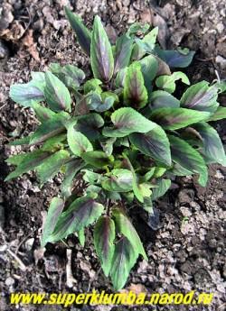 """ФИАЛКА КОРЕЙСКАЯ """"Марс"""" (Viola coreana """"Mars"""") На фото весенняя более насыщенно пурпурная окраска листьев, Растет компактным кустом и очень декоративна. ЦЕНА 250 руб (1 шт)"""