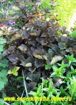 """КРИПТОТЕНИЯ ЯПОНСКАЯ """"Атропурпуреа"""" или СКРЫТНИЦА (Cryptotaenia japonica """"Atropurpurea"""" ) Декоративнолистное растения с пурпурно-оливковой трехлопастной листвой , известное под названием """"Японская петрушка"""" . Высота 40-100 см. ЦЕНА 150 руб."""