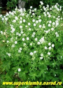 """ГЕРАНЬ КРАСНО-БУРАЯ """"Альбум"""" (Geranium phaeum ''Album'') разновидность с чисто-белыми цветами и резными зимующими зелеными листьями образующими аккуратный кустик. Во время цветения куст буквально весь усыпан цветами. цветение продолжительное с июня в течении 40-45 дней. Высота с цветоносами 50-60 см. ЦЕНА 170 руб (1 шт)"""