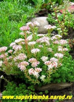 цветет ОЧИТОК ЛИДИЙСКИЙ (Sedum lydium). Цветы бело-розовые собраны в зонтиковидное соцветие. ЦЕНА 150-200 руб (1 деленка)