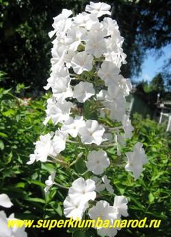 """Флокс пятнистый ШНЕЕЛАВИН (Phlox maculata """"Schneelawine"""") Arends 1918, РР, 90/2,5-3. Высокие до 30 см колонновидные соцветия-свечи усыпаны белыми цветами иногда с легкой розовинкой в горлышке, очень ранний. ЦЕНА 250 руб (1 шт) или 400 руб (кустик : 3-4 шт)"""