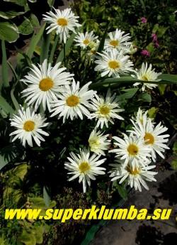 "Нивяник ""СПУНФУЛ ОФ ШУГА"" (Leucanthemum ""Spoonful of Sugar"")  цветущий кустик. НОВИНКА! ЦЕНА 300 руб   (делёнка)"