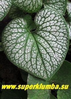БРУННЕРА КРУПНОЛИСТНАЯ «Джек Фрост» (Вrunnera macrophylla »Jack Frost») Лист крупным планом. ЦЕНА 250 руб (делёнка)