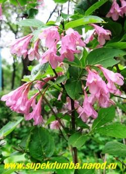 ВЕЙГЕЛА РАННЯЯ (Weigela praecox)  листопадный кустарник  с розовыми колокольчатыми цветами, обильно покрывающем куст во время цветения. Цветет с начала июля 20-25 дней. Высота до 2м. ЦЕНА 1000 руб (взрослый куст: 7 летка)