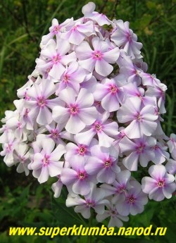 Флокс метельчатый СЕЯНЕЦ № 1. С, 80/3. Белые с сиреневыми тенями цветы звездчатой формы с небольшим малиновым глазом, соцветия большие, куст прочный, хорошо нарастает, неприхотливый. ЦЕНА  200 руб -1 шт или 400 руб (кустик: 3-4 шт)