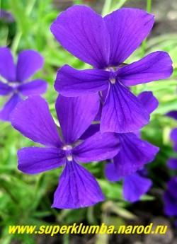 """ФИАЛКА РОГАТАЯ """"Чернильная"""" (Viola cornuta)  цветы крупным планом. ЦЕНА 200-250 руб (1 дел)"""