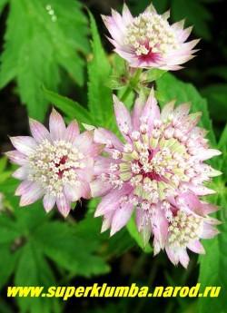 АСТРАНЦИЯ БОЛЬШАЯ ( Astrantia major) Цветки бледно-розовые, в простых зонтиках диаметром 3,5-5 см. Листочки обертки бледно-розовые. Хорошо растет как на солнце, так и в тени. ЦЕНА 150-200 руб (1дел)