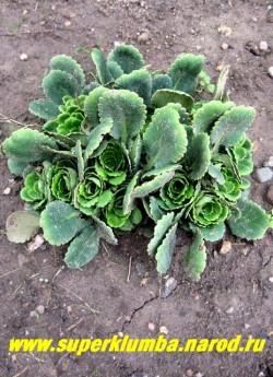 КАМНЕЛОМКА ТЕНИСТАЯ (Saxifraga x urbium) весной молодые разворачивающиеся розеточки похожи на зеленые розочки. ЦЕНА 150 руб (3 розетки)