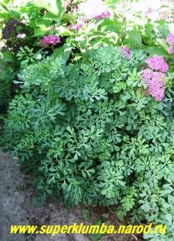 РУТА ДУШИСТАЯ (Ruta graveolens) Светолюбивое лекарственное и пряное растение с ажурной голубой перисторассеченной листвой и желтыми цветами собранными в кистевидные соцветия. Высота 50-70 см. НОВИНКА! ЦЕНА 250 руб