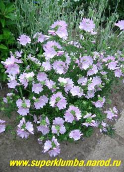 ПРОСВИРНИК ШТОК-РОЗОВЫЙ (Malva alcea) . Многолетнее растение высотой до 70 см с розовыми цветами диаметром 5 см и с приятным мускусным ароматом и ажурными пальчато-рассеченными, опушенными листьями , цветет июнь-август, ЦЕНА 150-200 руб (делёнка)