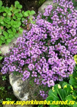 """ТИМЬЯН ПОЛЗУЧИЙ """"Пепл бьюти"""" (Thymus serpyllum """"Purple beauty"""") Многолетнее растение 5-10 см высотой с ползучими волосистыми стеблями густо усаженными мелкими овальными листочками. Цветет сплошным ковром пурпурно-лиловыми цветами, собранными в головчатые соцветия, в июле — августе 25-30 дней. Очень красив на горке и бордюре. ЦЕНА 200-300 руб (1 деленка)"""