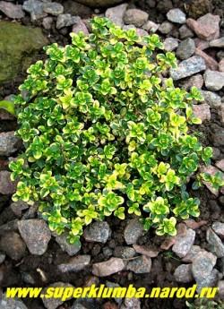 """ТИМЬЯН ЛИМОННОПАХНУЩИЙ """"Дун Веллери"""" (Thymus citriodorus """"Doone Vallery"""") Миниатюрный полукустарничек с мелкими кожистыми зелеными с желтыми пятнами листочками, имеющими лимонный запах. Высота 7-13 см . Цветет в июне-июле розовыми цветами, собранными в головчатые соцветия .   НЕТ  В ПРОДАЖЕ"""