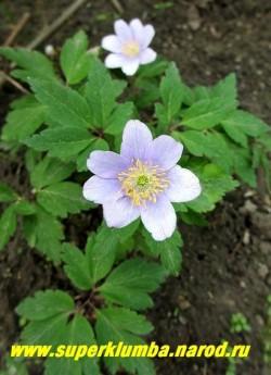 """АНЕМОНА ДУБРАВНАЯ """"Робинсониана"""" (Anemone nemorosa """"Robinsoniana"""") Красивая разновидность с сиренево-голубыми цветами, диаметр цветка 4 см, высота растения 10-15см, цветет с мая. Полутень. Эфемероид.     ЦЕНА 300 руб (делёнка)  НЕТ НА ВЕСНУ"""