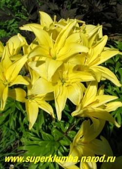 Лилия ЛИМОННАЯ ПОЛУМАХРОВАЯ, азиатский гибрид, полумахровые лимонно-желтые цветы, цветет июль, высота до 80 см.,  НЕТ В ПРОДАЖЕ