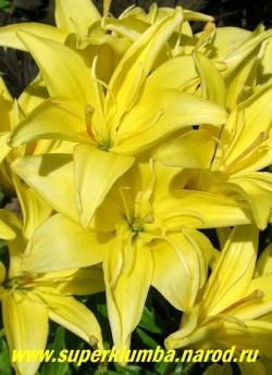 Лилия ЛИМОННАЯ ПОЛУМАХРОВАЯ, цветок крупным планом. на одном соцветии могут быть и махровые и немахровые цветы. Неприхотливая.  НЕТ В ПРОДАЖЕ