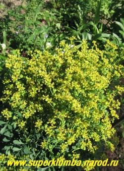 Цветет РУТА ДУШИСТАЯ (Ruta graveolens) . НОВИНКА! ЦЕНА 250 руб