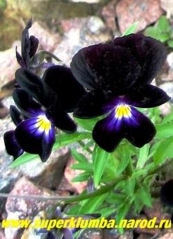 """ФИАЛКА ГИБРИДНАЯ """"Боулес блэк"""" (Viola hybrida """"Bowles Black"""") почти черные бархатные цветы с ярким желтым глазом в центре . Куст высотой 20 см. ЦЕНА 150 руб (1 шт)"""