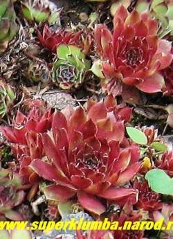 МОЛОДИЛО №3. розово-малиновое, фото на горке, середина лета.  ЦЕНА 100 руб ( 1роз) НЕТ НА ВЕСНУ