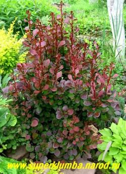 """БАРБАРИС ТУНБЕРГА """"Атропурпуреа"""" (Berberis thunbergii """"Atropurpurea')  пурпурно-синяя листва этого барбариса становиться максимально яркой на солнечном месте, осенью листья становятся ярко красными. обрезкой ему можно придать любую форму и высоту , высота 80 - 150 см.   ЦЕНА 350--450 руб (взрослые кусты  4-5 летки)"""