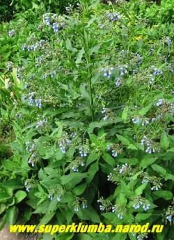 ОКОПНИК КАВКАЗСКИЙ (Symphytum caucasicum)  Высокий неприхотливый многолетник с опушенной листвой и многочисленными колокольчатыми цветами , меняющими окраску от розовой до голубой.  Высота до 100см, цветет июнь-июль.  ЦЕНА 100-150 руб (делёнка)