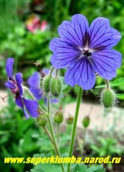 ГЕРАНЬ ГРУЗИНСКАЯ (Geranium ibericum)  Редкий вид, цветет многочисленными крупными (4-5 см) сине-фиолетовыми цветами. Куст до 60 см высоту с красивыми седыми опушенными листьями, осенью окрашивающимися в кирпично-красные тона. ЦЕНА 200 руб ( 1 шт)