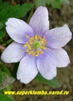 """цветок АНЕМОНЫ ДУБРАВНОЙ """"Робинсониана"""" (Anemone nemorosa """"Robinsoniana"""") ЦЕНА 300 руб (делёнка)  НЕТ НА ВЕСНУ"""