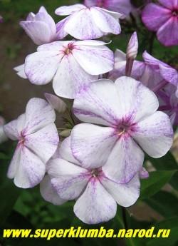 Флокс метельчатый СЛЕДЫ- 2 (Phlox paniculata Sledy) Репрев Ю.А., 1983, С, 80/3,7. Более яркая вариация этого сорта . Распускается белым с темно-лиловыми брызгами, затем темнеет до малинового с белой штриховкой, На фото в начале цветения. Диаметр цветка 3,8см, высота 90-100см, среднего срока цветения. НОВИНКА! ЦЕНА 300 руб (1шт) или 600 руб (кустик: 3-4 шт) НЕТ НА ВЕСНУ