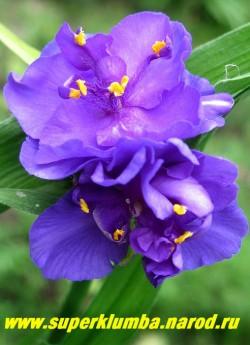"""ТРАДЕСКАНЦИЯ """"ЦЕРУЛЕА ПЛЕНА """" (Tradescantia """"Caerulea Plena""""), фиалковые махровые цветы с ярко-желтыми тычинками, диаметр цветка 3,5см, наряду с махровыми в соцветии могут быть и немахровые цветы, цв. июнь-сентябрь, высота 50-60 см, ЦЕНА 200 руб (1 шт) или 400 руб ( кустик 3-4 шт)"""