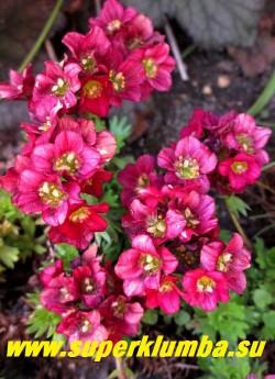 """КАМНЕЛОМКА АРЕНДСА """"ТРИУМФ"""" (Saxifraga x arendsii """"Triumph"""")  Цветки до 1,5 см в диаметре рубиново-красные  собранные в густые плотные соцветия на  низких и  компактных  цветоносах высотой  10 см .  Цветет в мае-июне очень обильно.   Очень  яркая!  НОВИНКА!  ЦЕНА 200-250 руб (7-12 розеток)"""