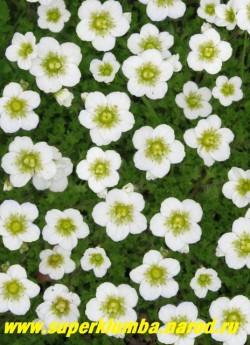 """КАМНЕЛОМКА АРЕНДСА """"ШНЕЕТЕППИХ"""" (Saxifraga x arendsii """"Schneeteppich"""") Цветки до 2 см в диаметре белые, Цветет в мае — июне очень обильно, Хорошо смотриться в каменистом саду, бордюрах, и др. Прекрасно сочетается с розовым и малиновым сортами.  ЦЕНА 150-200 руб (7-12 розеток)"""