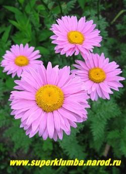 """ПИРЕТРУМ ПОЛУМАХРОВЫЙ """"РОЗОВЫЙ"""" (Pyrethrum hybridum) ярко-розовые полумахровые цветы, диаметр до 7 см, высота 70 см,  ЦЕНА 250 руб (1 делёнка)"""