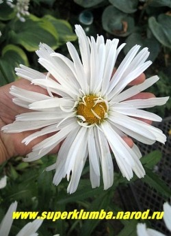 """Нивяник  """"РИЖСКАЯ"""" (Leucanthemum """"Rizhscaya"""") цветок не умещается на моей ладони.  ЦЕНА 500 руб. (делёнка)  НЕТ НА ВЕСНУ"""
