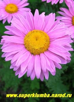 """ПИРЕТРУМ ПОЛУМАХРОВЫЙ """"РОЗОВЫЙ"""" (Pyrethrum hybridum), цветок крупным планом.  ЦЕНА 250 руб (1 делёнка)"""