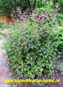 """ГЕРАНЬ КРАСНОБУРАЯ """"Самабор"""" (Geranium phaeum """"Samabor"""") цветущий куст в нашем саду. Цветет длительно и обильно. Украсит как солнечный, так и тенистый участок сада. ЦЕНА 200 руб (1 шт)"""