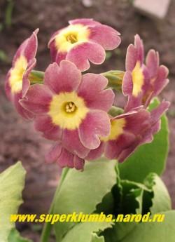 """Примула ушковая """"КАКАО"""" (Primula аuricula) розовая с   бежевой  дымкой  лимонно-желтым центром, с ароматом, высота до 15 см, цветет май-июнь, ЦЕНА 280 руб. (штука)"""