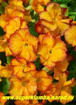 """Примула гибридная """"ЖЕЛТО-ОРАНЖЕВАЯ №2"""", оранжево-желтые цветы с терракотово-красной штриховкой по краю, усиливающейся по мере роспуска, крупноцветковая, высота до 25 см, цветет апрель-май.  ЦЕНА 250 руб (делёнка) НЕТ   В ПРОДАЖЕ"""